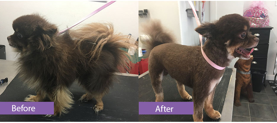 Before and after grooming of a brown pommeranian.