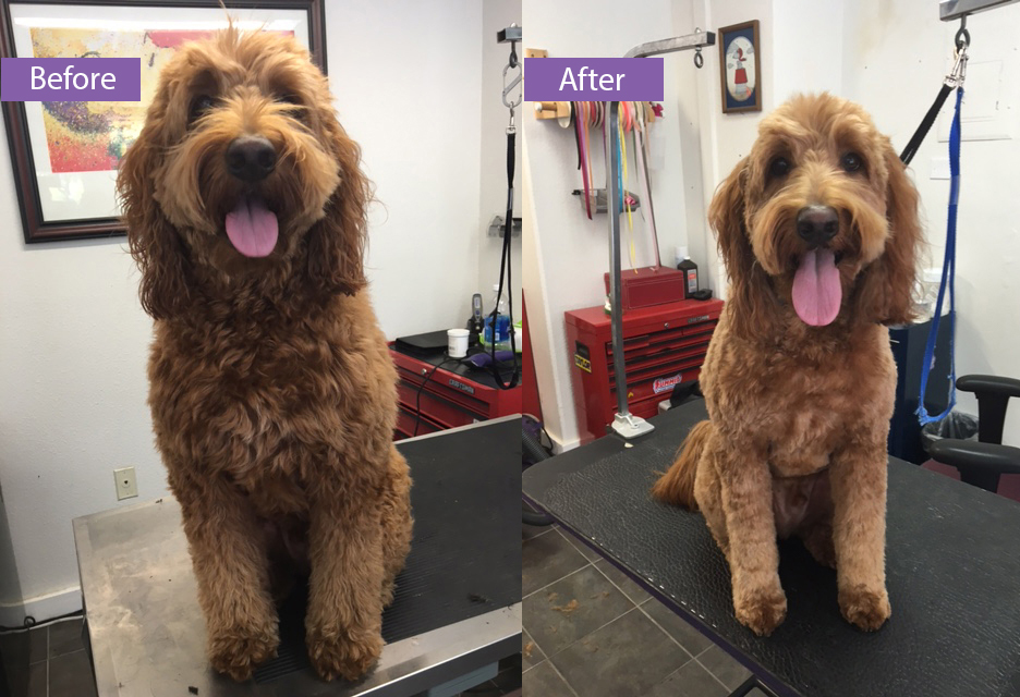 A doodle before and after being groomed.